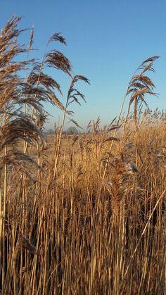 Riet #fotofrafie #holland #spring #natuur #nature #polder