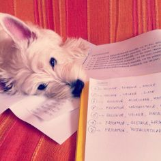 my lovely westie studying with me :)