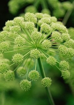 Angelica archangelica.
