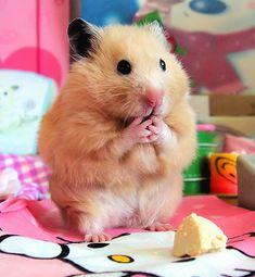 Cosas que se pueden hacer con un hamster - Identi
