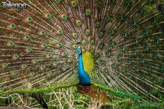 Sachith Dhanushka Withana a very talented #WildlifePhotographer has captured an absolute beauty of a picture. This photograph of a male peacock was captured at the Yala National Park, Srilanka and he is participating in the #WildLife #Photography #Contest on #Tallenge. Click here, http://www.tallenge.com/sachith-dhanushka-withana/photography/wildlife/showing-off-/vote to vote for this stunning photo.