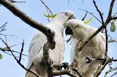 Image result for cockatoos