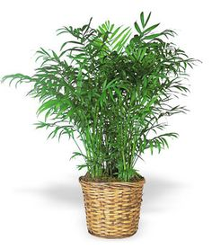 Large Floor Plant in Basket#exotic#