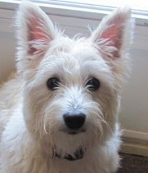 WANTED- Adoption Applications! is an adoptable West Highland White Terrier Westie Dog in Tottenham, ON. These little Westies shown have all been adopted, but some of their friends, brothers and sister...