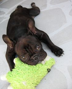 French Bulldog Puppy, I just wanna squeeze her ; )