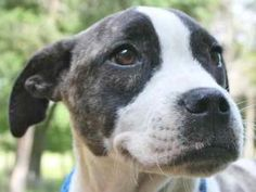 Elsa is an adoptable American Bulldog Dog in Chipley, FL. Elsa and Ellie are two female litter-mates, 3 month old bulldog crosses, about 15 to 20 pounds. They are very sweet and gentle pups, well soci...