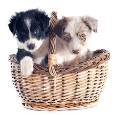 See only the cutest & most adorable pictures of border collie puppy dogs right here . More puppy pics are added almost daily for your enjoyment . Puppy Pictures, Puppy Pics, Adorable Pictures, Border Collie Pictures, Border Collie Puppies, Puppy Breeds, Dogs And Puppies, Mad, Snacks