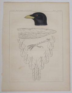 YELLOW-BILLED MAGPIE Hand Colored Bird Print 1857 USPRR Railroad RR Survey  #Realism