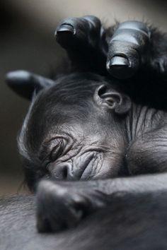 Sleeping Baby Gorilla