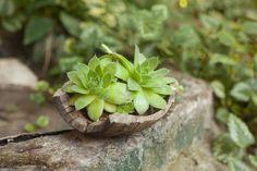 co leczy rojnik Detox, Succulents, Plants, Succulent Plants, Plant, Planting, Planets