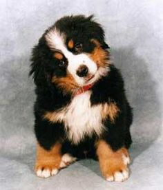 Cute dogs full grown _ süße hunde ausgewachsen _ chiens mignons adultes _ perros lindos adultos _ cute dogs and puppies, cute dogs breeds, cute dogs funny, cute dogs background, cute dogs… Cute Little Animals, Cute Funny Animals, Cute Dogs And Puppies, Pet Dogs, Doggies, Puppies Puppies, Beautiful Dogs, Animals Beautiful, Beautiful Pictures