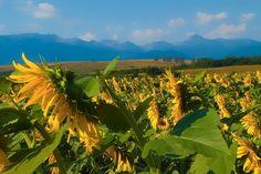 Sunflowers - null