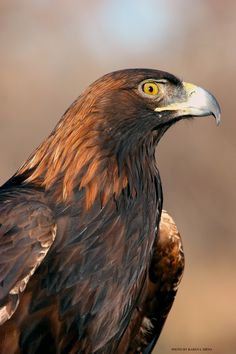 Golden Eagle, photographer KL Sirna