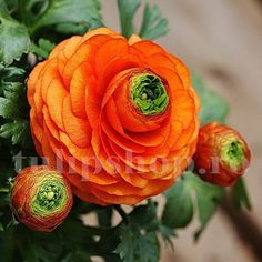 5 BULBS - Ranunculus - Orange Flowers - Persian Buttercup - Plant Now for Spring Flowers - NEW in the Flower Bulbs, Roots & Corms category was sold for on 20 Jul at by Seeds and All in Port Elizabeth Blooming Flowers, Spring Flowers, Bulb Flowers, Flowers Nature, Beautiful Flowers, Persian Buttercup, Types Of Flowers, Ranunculus, Peonies