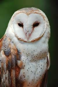 owl cherokee indian shamans viewed eastern screech owls as consultants ...