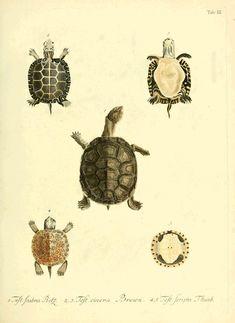 Naturgeschichte der Schildköten. Full title, D. Johann David Schöpfs königl. Preuss. hofraths … Naturgeschichte der Schildkröten : mit Abbildungen erläutert. (1792) by Johann David Schöpf.