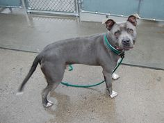 TO BE DESTROYED - 02/19/15 Brooklyn Center -p My name is BARACK. My Animal ID # is A0837671. I am a neutered male gray and white pit bull mix. The shelter thinks I am about 6 YEARS old. I came in the shelter as a OWNER SUR on 02/11/2015 from NY 11434, owner surrender reason stated was PERS PRO https://www.facebook.com/photo.php?fbid=918670024812544%2FB.