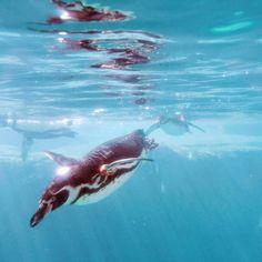 #飛び込みたい #いろんな世界 に  #ペンギン #ズーラシア #動物園 #横浜 #神奈川 #動物 #アニマル  #penguin #penguins #zoo #zoorasia #yokohama #kanagawa#japan