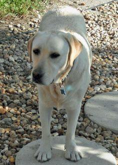 Augey the Labrador Retriever