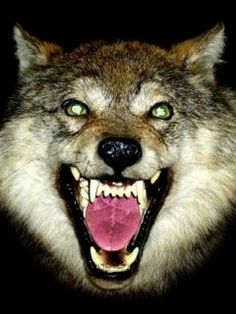 Wolfs Wolf S Mouth Free Pictures Hd Wallpaper Wolf Images, Wolf Pictures, Free Pictures, Angry Animals, Cute Animals, Snarling Wolf, Angry Wolf, Timberwolf, Dinosaurs