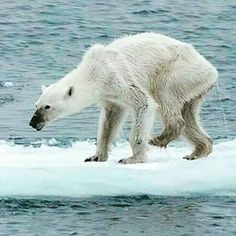 Polar bears are starving and can't find food to eat. This image is heart-wrenching! Something MUST BE DONE about climate change! Huntington Lake, Oils For Energy, Les Seychelles, Global Warming Climate Change, Species Extinction, History Taking, Habitat Destruction, Surviving In The Wild, Bears
