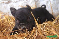 micro piglet I want one soooo bad!!