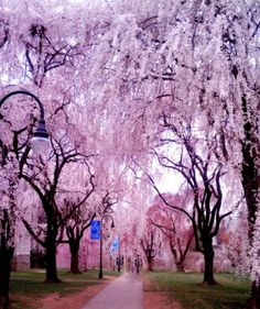 Cherry Blossoms at Bryn Mawr College / Spring 2012 / Photo by Yashaswini Singh