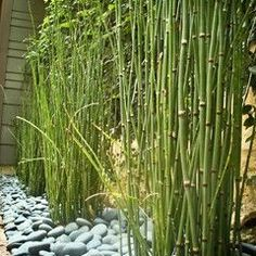 Bamboo in river rock