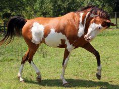 Les fonds d'écran - Un cheval pie en liberté