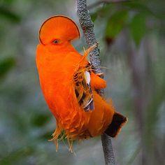 """Foto: Almir Cândido de AlmeidaO galo-da-serra é uma ave que habita regiões próximas a maciços rochosos no norte do Brasil. Os machos possuem esta coloração laranja exuberante e se reúnem para se exibirem para as fêmeas – que possuem uma coloração marrom-escura –, cada qual em um """"palco"""" isolado."""