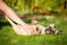 Funny french bulldog puppy lying on the lawn