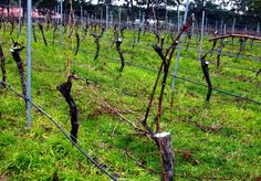 More vineyard talk. These are Shiraz vines about 22 years old. No matter how carefully you prune you'll find the crown of the vine is creeping up higher than the fruit wire. That's when the chainsaw comes out and you do the big cuts to lop off the crown and put down two new fresh cordons. The pale colour you see in the vines is an anti-bacterial paint to cover the big cuts. Yeah, it makes for a very long pruning season. #owningawinery #grapevinepruning #Shiraz