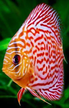 En una de mis acuarios habría una colonia de peces disco. El nombre del pez en…