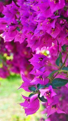 Bougainvillea in bloom. Giant Flowers, Pretty Flowers, Tropical Garden, Tropical Flowers, Fruit Garden, Most Popular Flowers, Beautiful Gardens, Planting Flowers, Flowers Garden