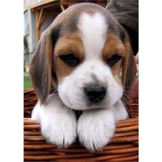 Baby Beagle, Beagle Puppy, Cute Baby Dogs, Cute Puppies, Animals And Pets, Funny Animals, Animal Intelligence, Custom Dog Collars, Cute Animal Photos