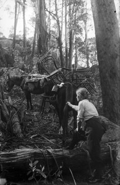 Alice Manfield with packhorses carrying wooden chairs up the mountain, Mount Buffalo, Victoria, Australia, ca. 1912. Source: State Library of Victoria