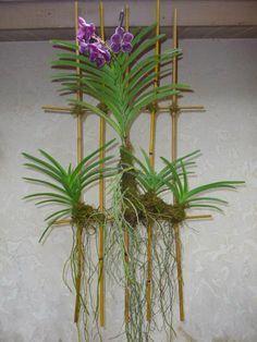 plantando vandas
