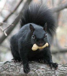 Black Bear, Squirrels, Animals, Animais, Animales, American Black Bear, Animaux, Squirrel, Animal