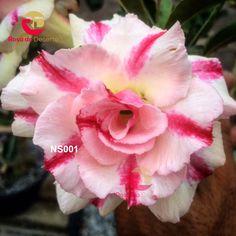Rosa do Deserto Garden Center - Divinópolis - MG