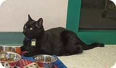 Fur Everywhere: Opt to Adopt: Bob Seeks His Forever Home.  12 years old and currently at the Cat Care Society in Lakewood CO