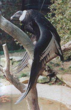 Andean condor Cute Creatures, Beautiful Creatures, Andean Condor, Bird Wings, Welcome To The Jungle, Birds Of Prey, Naturally Beautiful, Firebird, Raptors
