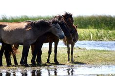 Wild horses in the Danube Delta    danube-delta-horses.jpg 548×365 pixels