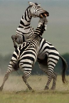 Male Zebra Stallions in a fierce duel for young Zebra mares for mating, The looser runs away and the winner gets the harem. Large Animals, Cute Animals, Unique Animals, Beautiful Horses, Animals Beautiful, Animal Z, African Animals, Nature Animals, Wild Animals