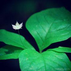 Tiny flower, big leaves