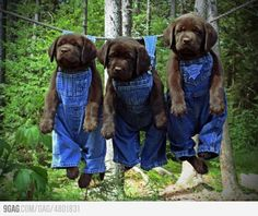 Drip Dry Dogs - Lab chocolate puppy