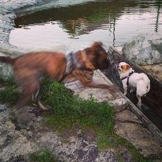 Шоок! Я зашёл спокойно попить водички как вдруг на меня набросился огромный бойцовский пес!  Продолжение следует... #щенки #малыши #роджер #гомер #мальчики #чихуахуа #брабансон #напрогулке #гуляем #лето #жара #песики #собачки #puppy #funyanimals #dog #roger #homer #chihuahua #brabanson #mylove #sweetcouple #honey #cute #summer #hot #love #nice Chihuahua Puppies, Hot, Animals, Animales, Animaux, Animal, Animais