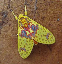 Bella polilla amarilla / Beautiful yellow moth | Flickr - Photo Sharing!