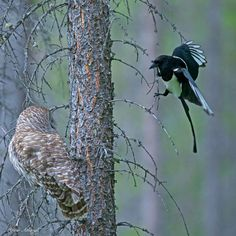 A Barred Owl being harassed by a Black-billed Magpie, this magpie and two other kept this up until the owl flew away. Amar