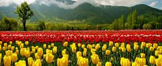 Tulips in Srinagar