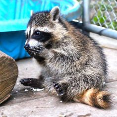 Can't be sure but I think this baby raccoon is enjoying it's hard boiled egg. So hard to tell.....